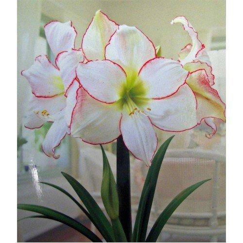 2 Amaryllis Picotee énorme ampoule 30–36 cm. Excellent Cadeau de vacances. facile Grow ampoules.