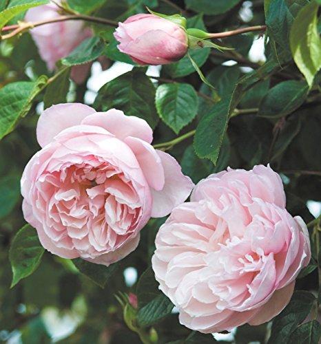 'The Generous Gardener' -R-, Englische Rose (David Austin) in A-Qualität Wurzelware