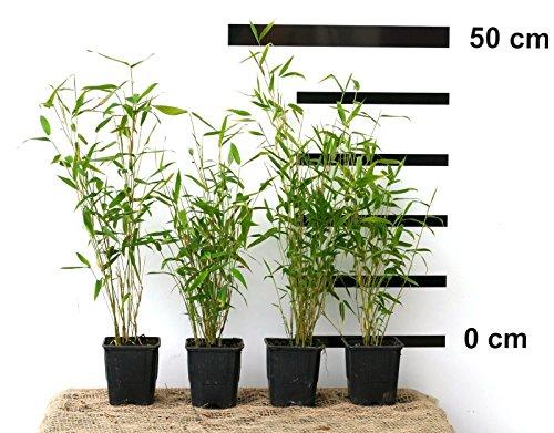 8 x Bambus Fargesia Jumbo winterhart und schnell-wachsend 30-40 cm hoch