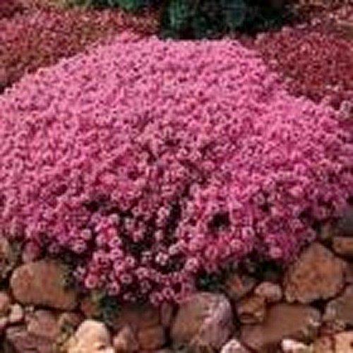 Kriechender Thymian (Thymus serpyllum Mutter Thymian) - 200 Samen