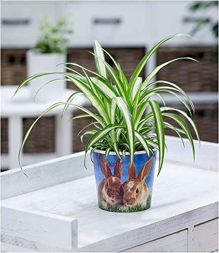 BALDUR Garten Chlorophytum Hase, 1 Pflanze Grünlilie Pflanzenfutter für Hasen Zimmerpflanze Zimmerpflanzen