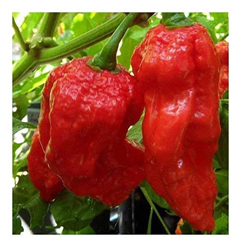 SANHOC Samen-Paket: 10 Samen: Chili König Naga - Paprika - 10 seedsSEED