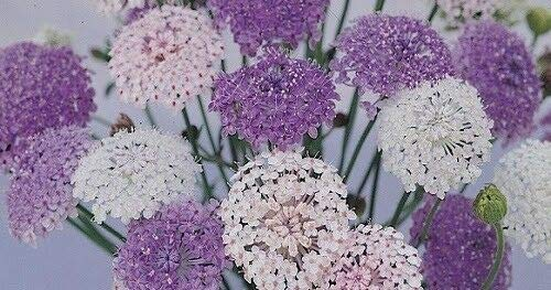 Blue, Pink, White Didiscus Lacy Mix Flower Seeds / Self-Seeding Annual tyn3sw (50+ Seeds)