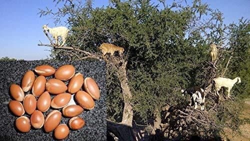 Germinación Las Semillas: 5 Semillas: Semillas Argania Spinosa Frescas, Aceite de Argán, Semillas de argán, árbol del Argan, Cosecha 09/18