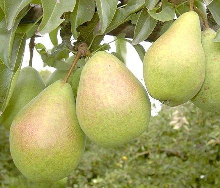 Köstliche von Charneux, Herbstbirne, Halbstamm, 150-170cm im 10L Topf
