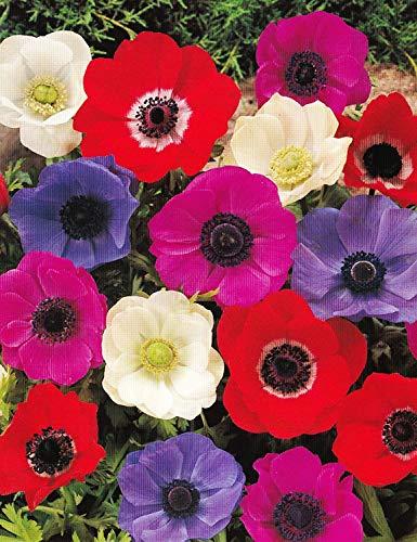 Anemonen coronaria De Caen gemischt (25 Blumenzwiebeln)