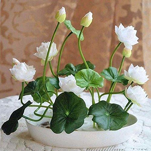 Keptei Samenhaus- Mini-Lotusblumen Samen(Nelumbo)Hydroponischen Wasser Blume Pflanze Indoor Bonsai Lotus Saatgut mehrjaehrig mehrfarbrig