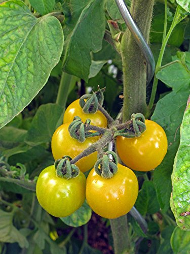Polnische Cocktailtomate \'Cytrynek Groniasty\' (Solanum lycopersicum) 10 Samen