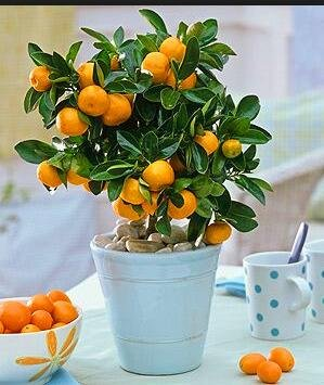 Golden Delicious orange semences Mini Potted arbres fruitiers Graines Bonsai Intéressant planter 50 particules/lot 2