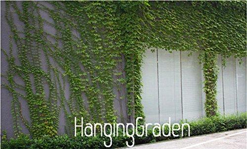 Nouvelles Graines 2015! 100 Pièces / sac vert Boston Ivy Graines Ivy semences pour le bricolage Maison et jardin en plein air plantes Semences, # 4NDAJF