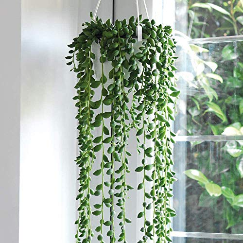 String of Pearls Indoor House Plants...