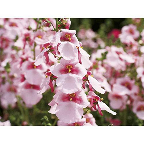Diascia - Elfensporn, Blüte rosa - im Topf 11 cm, in Gärtnerqualität von Blumen Eber - 11 cm