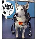 VTAMIN Fauteuil roulant de chiens XL pour grand chien de chiens Panier Panier d'overie 4 roues Réglable Scooter pour animaux handicapés Scooter de chien âgé pour Bulldog, Shepherd, etc. 20-75kg (Taill
