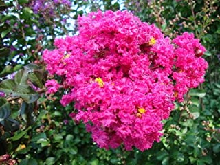 Details About 40 Seeds of Crepe Crape Myrtle Raspberry Sundae,