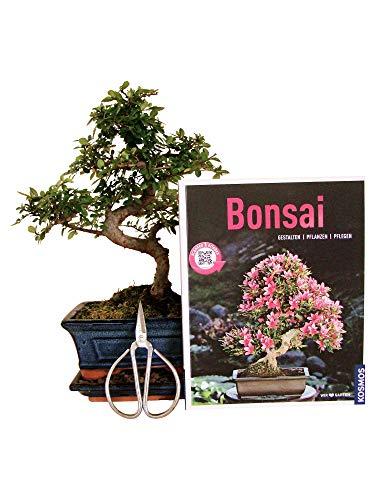 Anfänger Bonsai-Set Ulme, ca. 30cm, 4 teiliges Sparset (1 Ulmen-Bonsai, 1 Schere, 1 Untersetzer, 1 Bonsaibuch)