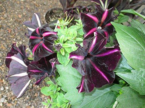 Petunia Hybrid at the greenhouse . (English Edition)