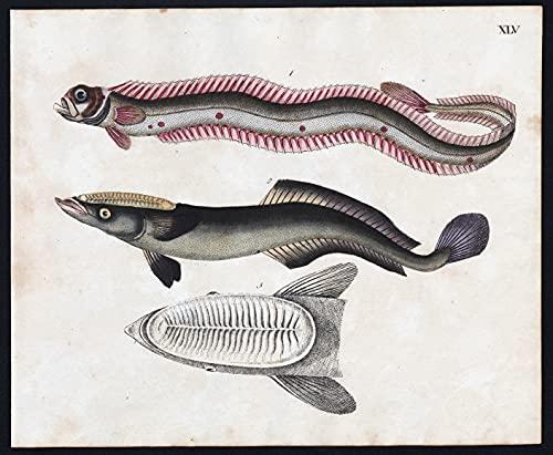 Bandfisch / Schiffshalter - Fisch fish Fische (Tafel XLV)