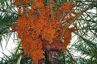 10 Seeds, Date Palm Phoenix Dactylifera US Seller
