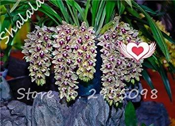 A bag = 200pcs Cymbidium Orchid, Multi Color Cymbidium Orchid Plant, Bonsai Flower Seeds,Natural Growth,Plant for Home Garden 12