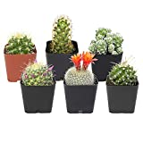 Cactus Plants (Mix of 6), Mammillaria Cactus Plants Live in Cactus Soil, Opuntia Cactus Live Plants, Cacti Plants, Cactus Décor Succulent, Cacti Décor Drought Tolerant Plants by Plants for Pets
