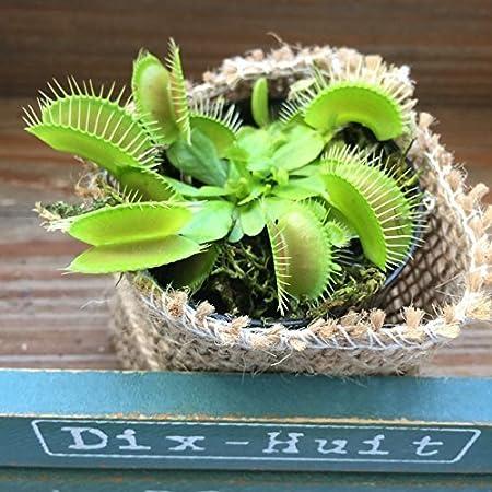 ハエトリ草 ☆ 食虫植物 ☆ 観葉植物