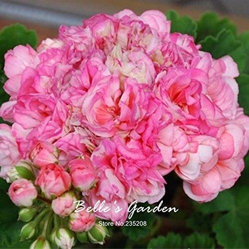 5pcs Couleurs multiples Variétés Géranium Graines Bonsai Pelargonium vivaces Graines de fleurs Hardy Patio Plante Plante en pot bricolage 01