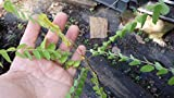 Live Plant - Sweet Tamarind Seedling/Plant 1 Year Old 6-10 inches Tall