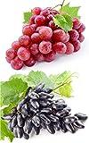 Weintrauben Pflanzen Weintraube Suffolk Red Souvenir als 2er Set im Topf 1-A Baumschulqualität