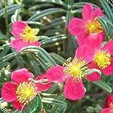 50pcs / lot helianthemum songaricum schrenk giardino di casa Quantità confezione contiene 1 set In realtà spedire a tutti counries Tipo di prodotto: semi