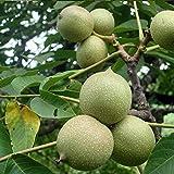 Semillas de árbol frutal vegetal, 2 semillas de nuez, demanda de humedad, cultivos nutritivos, patio, plantas no transgénicos, semillas para jardín, semillas
