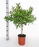 Fleur de Botanicly – Rince Bouteille – Hauteur: 65 cm –...