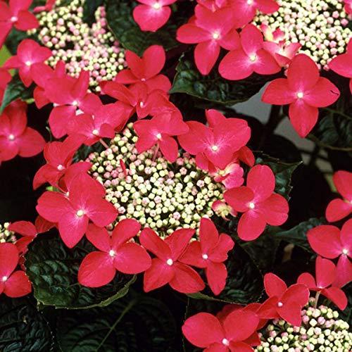 Hydrangea 'Teller Red' - Tellerhortensie 'Teller Red' 25-30 cm Pflanzcontainer