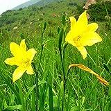 Eastbride Plantes ornementales,Les graines d'hémérocalles sont semées en Toutes Saisons pour Admirer Les graines de Daylily - 100 Capsules,Graine parfumée Vivace