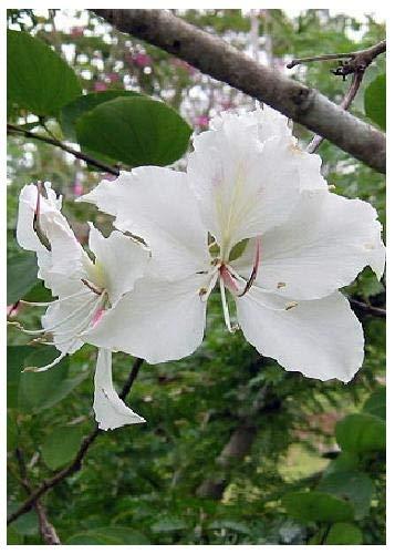 TROPICA - Arbre à orchidées blanches (Bauhinia variegata candida) - 10 graines- Magie tropicale