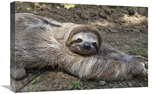 Brown-Throated Three-Toed Sloth Male Walking on Forest Floor, Aviarios Sloth Sanctuary, Costa Rica-Canvas Art-24'x16'