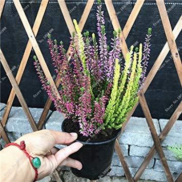Vistaric Bonsai Gypsophila Sky Star Seed Home Garden Flor Perenne Semillas De Flores Raras Pequeño Ángel en Maceta Fácil Crecer 150 Pcs 14