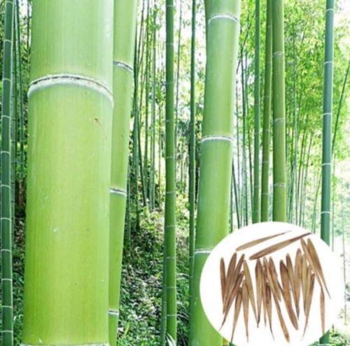 50 graines de graines de bambou fraîches rares Phyllostachys Nigra