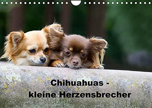 Chihuahuas - kleine Herzensbrecher (Wandkalender 2022 DIN A4 quer)