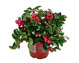Scheinbeere, Gaultheria procumbens, winterhart