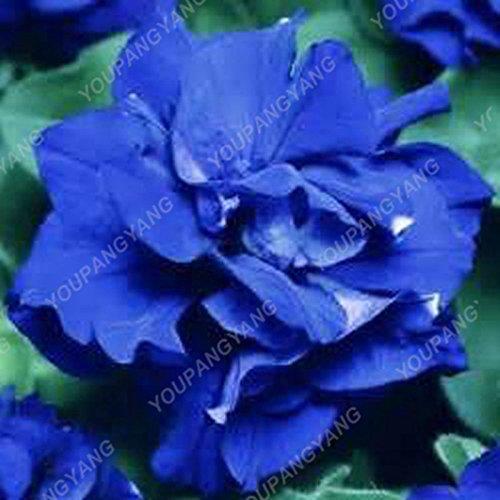 100pcs Petunia Seeds Four Seasons peut être planté 25 sortes de couleurs Pétunia Graines de fleurs Bonsai pour le bricolage jardin Plantation Gris clair