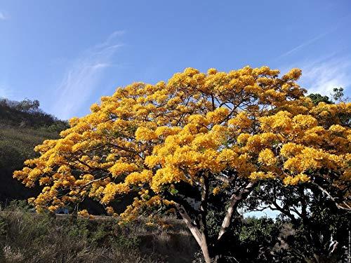 Delonix Regia Yellow Flamboyan Royal Poinciana Rạre Bónsai TrẹE SéẹD 10 SéẹDs Seeds_Easy_Grow