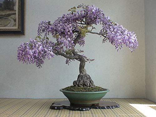 UEYR Bonsai Wisteria Chino Semillas, 10 Pack - Muy apreciado Floración Bonsai, Wisteria sinensis - 10 Semillas para Cultivar