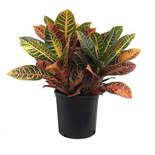 AMERICAN PLANT EXCHANGE Petra Croton Live Plant, 3 Gallon, Indoor/Outdoor Air Purifier