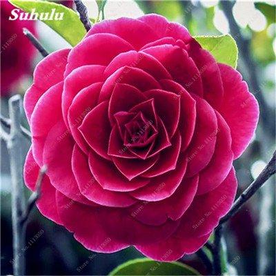 Grosses soldes! 10 Pcs Camellia Graines, Graines Bonsai Fleur, couleur rare, bonsaïs d'intérieur/extérieur Plante en pot pour jardin Facile à cultiver 12