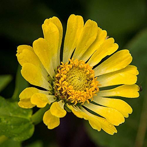 XINDUO Mehrjährig Blumen,Samen von Zierpflanzen-500 Kapseln,Blüten Saatgut mehrjährig