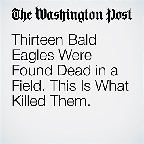 Thirteen Bald Eagles Were Found Dead in a Field. This Is What Killed Them. copertina