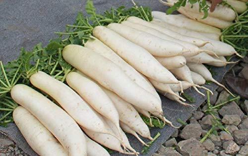 Spring white jade rábano semillas semillas de hortalizas Japón cuatro estaciones semillas de rábano blanco 300