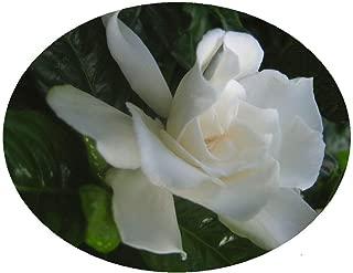 VETCHII Gardenia Live Plant Intensely Fragrant Double White Flowers Spring Summer Bloomer Starter Size Plant 4 Inch Pot Emeralds TM
