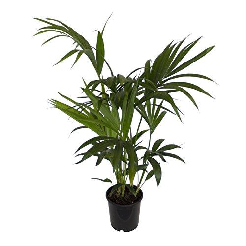 Dominik Blumen und Pflanzen, Zimmerpflanzen Kentia-Palme, Howea forsteriana,  1 Pflanze,  3 l Topf, ca.60-80 cm hoch