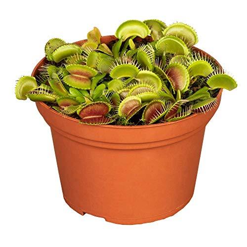 Florado Venusfliegenfalle 'Jumbo', Fleischfressende Pflanze, echte Zimmerpflanze, Pflanze, Topfgröße 12cm